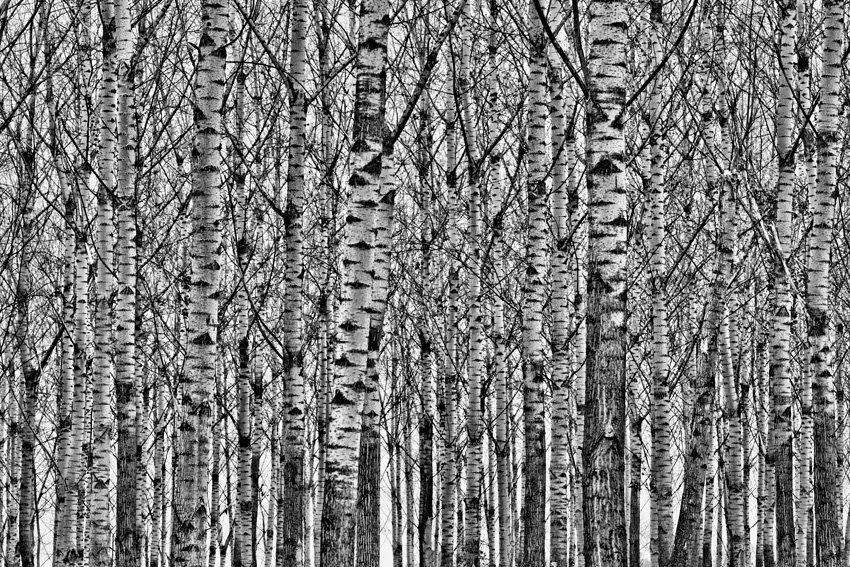 Nyírfák Papdi Balázs fotója Alföldi nyírfaerdő Csengele közelében.jpg