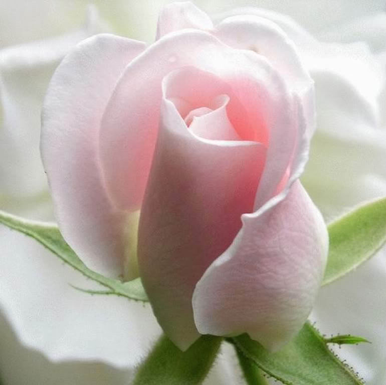 rosas-1-5.jpg