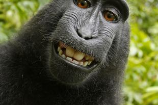 """Perre mennek a """"majom-szelfi"""" miatt"""