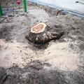 Fát csonkítottak, hogy kiférjen a sitt