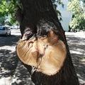 Requiem a Topánka utcai fákért