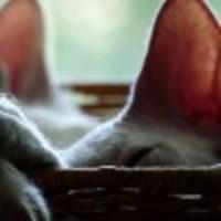A szőrtelen macskafajták