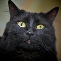 Az angóra macska