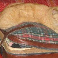 Gyömbér cica gazdit keres