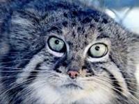 A sztyeppék Pallas macskája