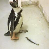 Telelő pingvin Hortobágyon