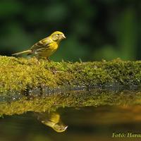 A hét madárdala: Csicsörke