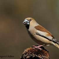 A hét madárdala: Meggyvágó