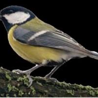 Az év madara 2011 – a széncinke