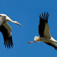 A gólyák nehéz esztendeje