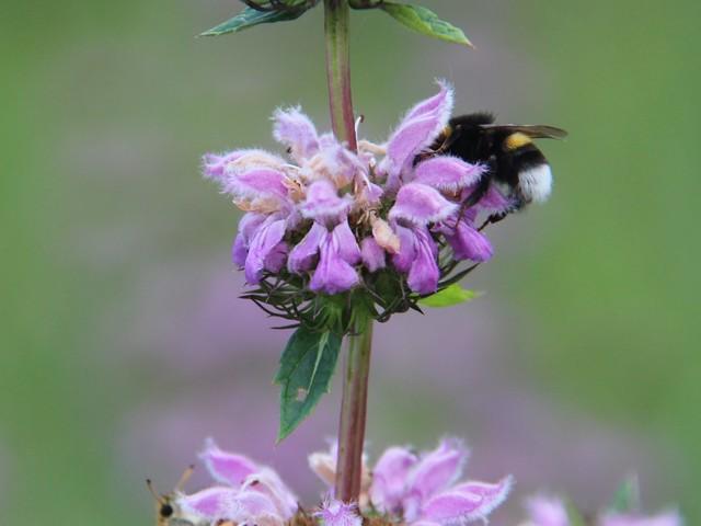 Méhek és más beporzók a kertünkben
