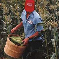 Lopják a kukoricát a Balaton-parton