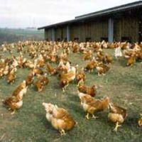 Csalások a tojáspiacon