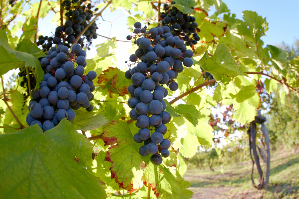 sitemgr_kazzit-types-of-grapes-for-red-wine-nebbiolo.jpg