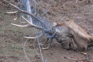 Értelmetlen haláltusa: a saját nyakát töri ki az ártatlan állat!