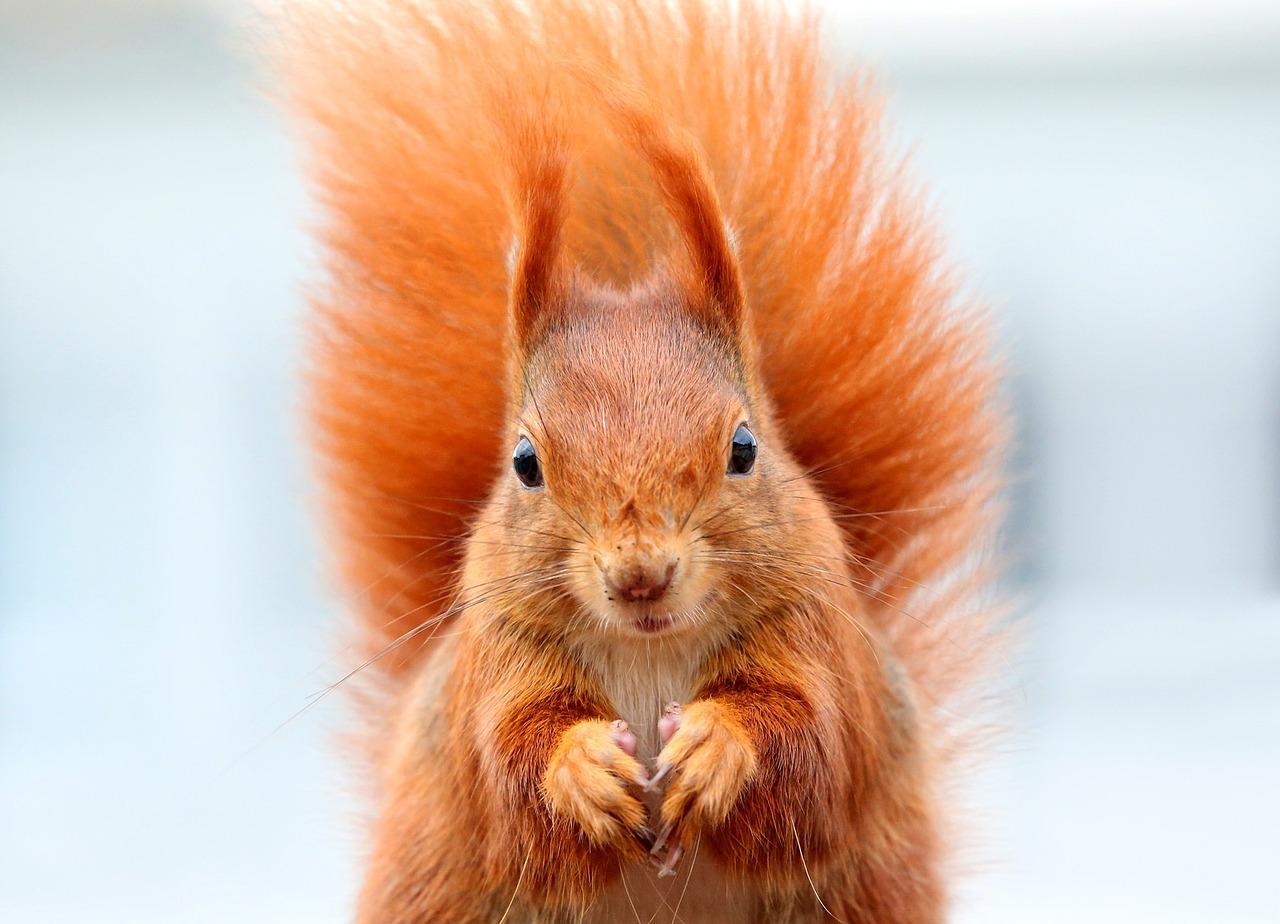 squirrel-1395315_1280.jpg