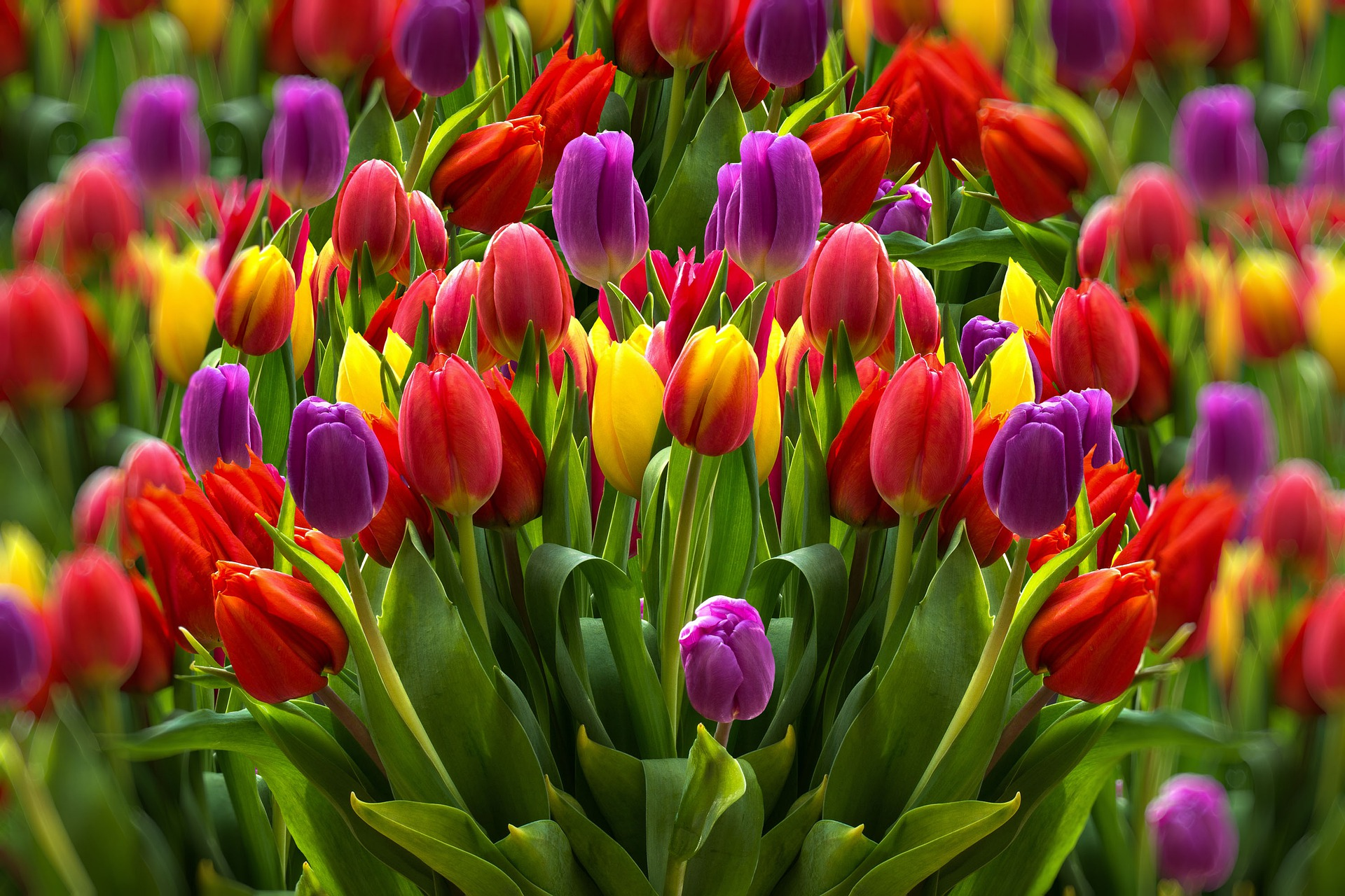 tulips-4564795_1920.jpg