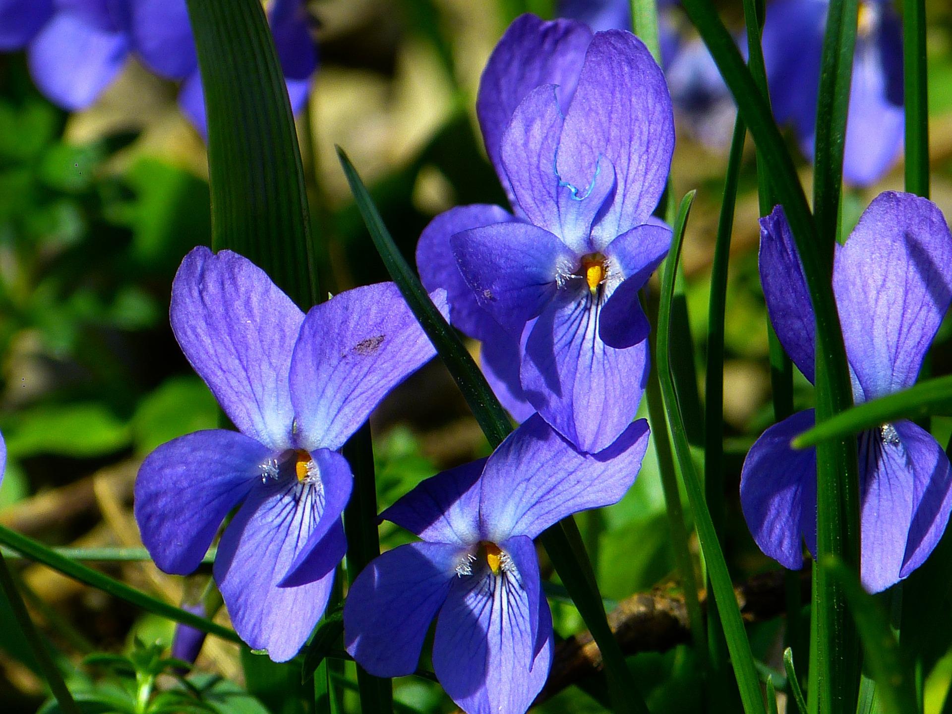 violet-292367_1920.jpg