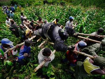 Brent Stirton képei a meggyilkolt ezüsthátú gorilláról (2007)