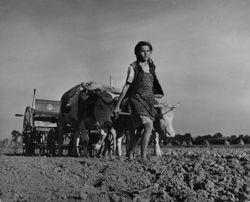 Fotó: Robert Capa: Fiatal lány mezőgazdasági munkát végez ökrökkel, Magyarország, 1948 © Robert Capa © ICP, New York. Magyar Nemzeti Múzeum gyűjteménye