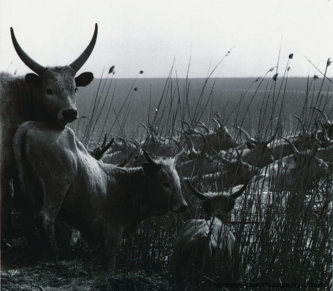 Fotó: Friedmann Endre: Hortobágy, 1974 © Friedmann Endre / Körmendi-Csák 20. századi Magyar Fotóművészeti Gyűjtemény