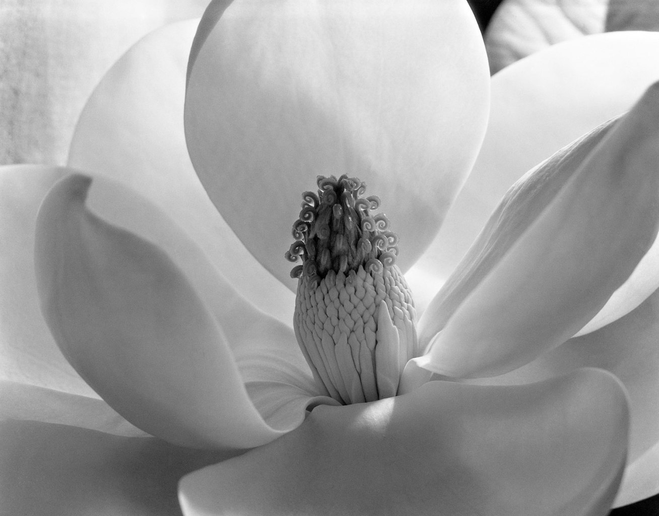 Fotó: Imogen Cunningham: Magnolia Blossom, 1925, Gelatin silver print ©T he Imogen Cunningham Trust, 2012