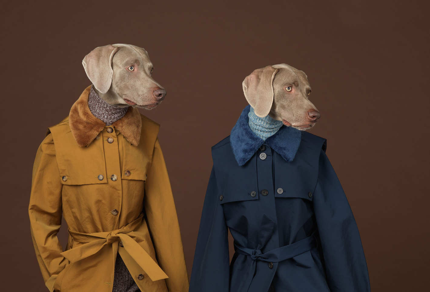 Fotó: William Wegman: Being Human; published by Chronicle Books 2017<br />Looking Right, 2015<br />© William Wegman. Image courtesy of William Wegman.<br />