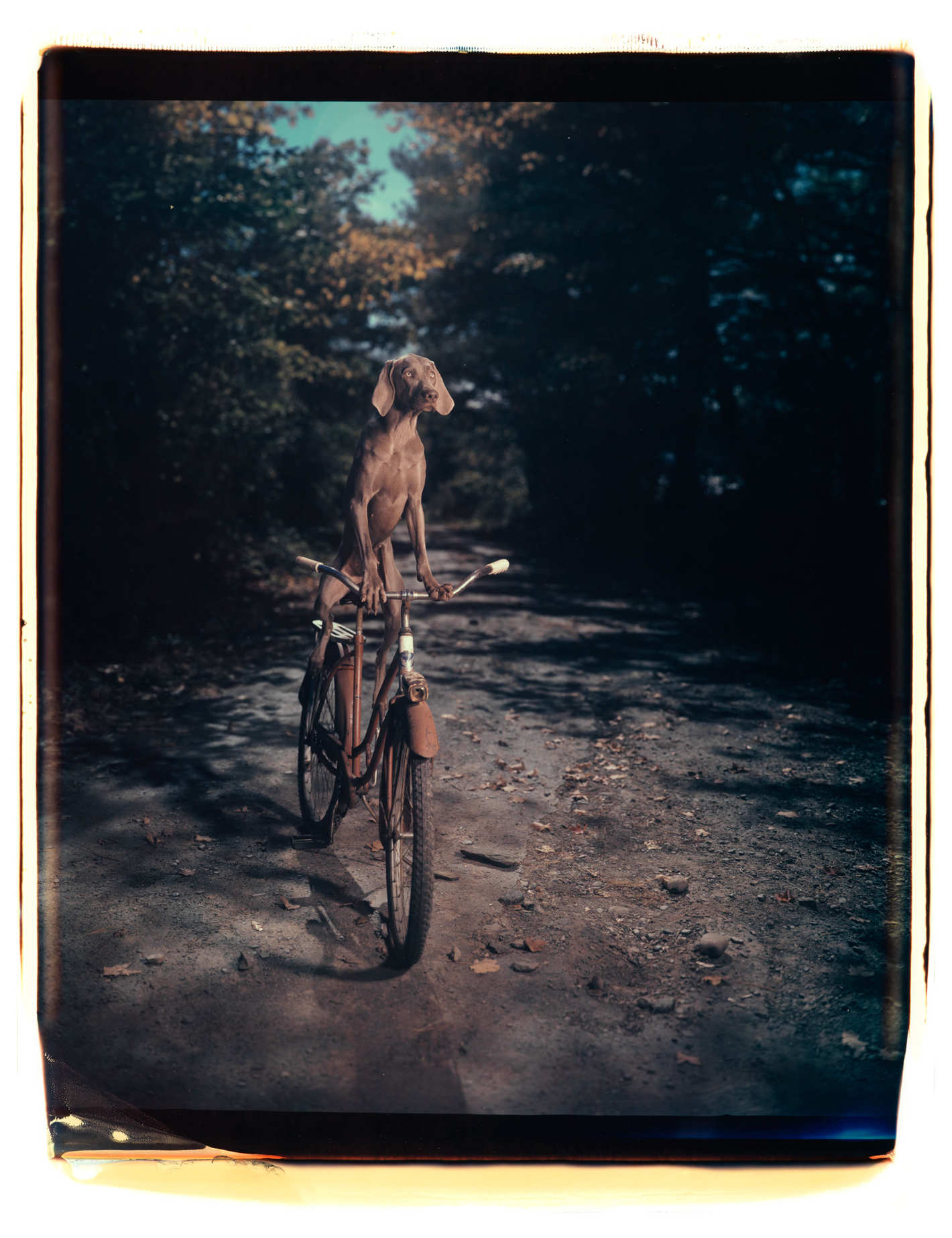 Fotó: William Wegman: Being Human; published by Chronicle Books 2017<br />Uphill, 1990<br />© William Wegman. Image courtesy of William Wegman.