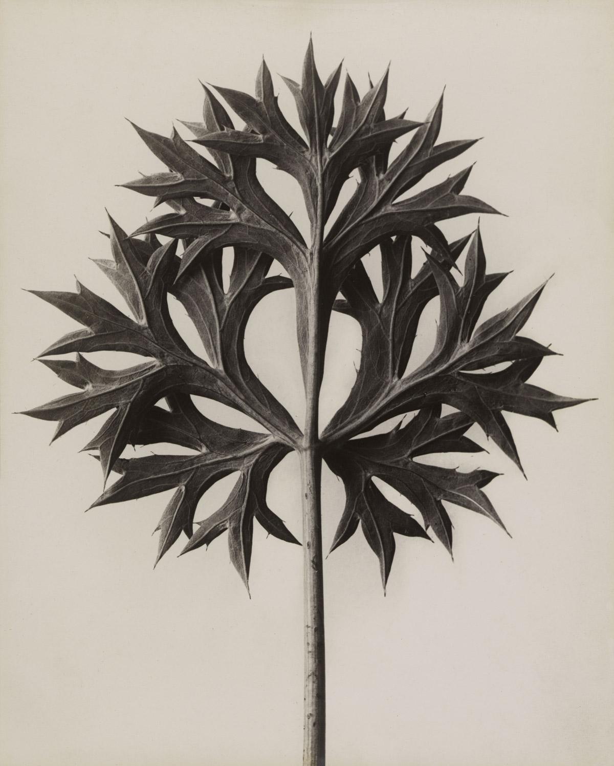 Fotó: Karl Blossfeldt: Eryngium bourgatii. Bourgatis Eryngo. Ördögszekér, Iringó növénynemzetség, 1928 előtt<br />Stiftung Ann und Jürgen Wilde, Pinakothek der Moderne, München