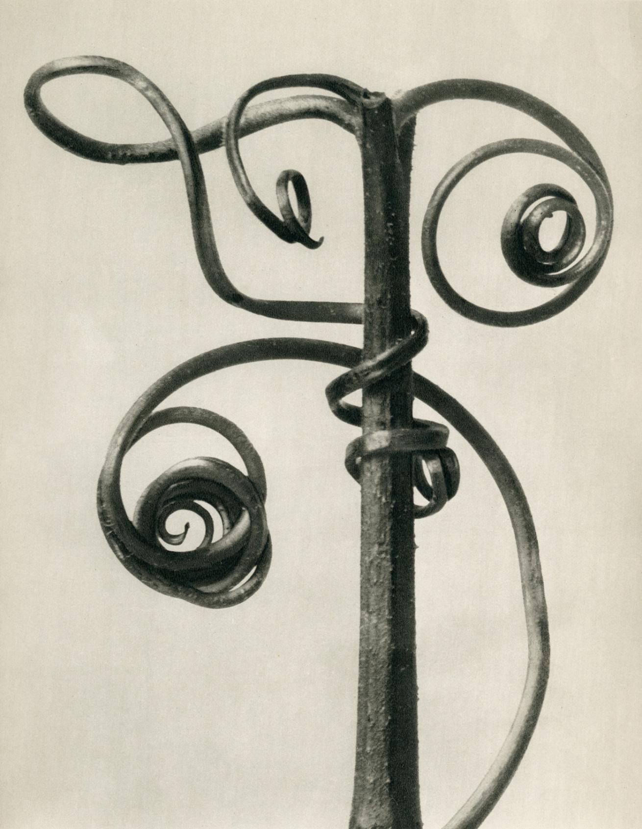 Fotó: Karl Blossfeldt: Cucurbita, Tök kacsok, 1928 előtt <br />Karl Blossfeldt Collection at the University of the Arts Berlin