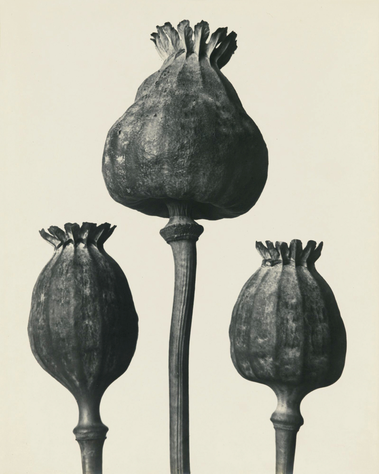Fotó: Karl Blossfeldt: Papaver Orientalis, Keleti mák, 1928 előtt <br />Karl Blossfeldt Collection at the University of the Arts Berlin