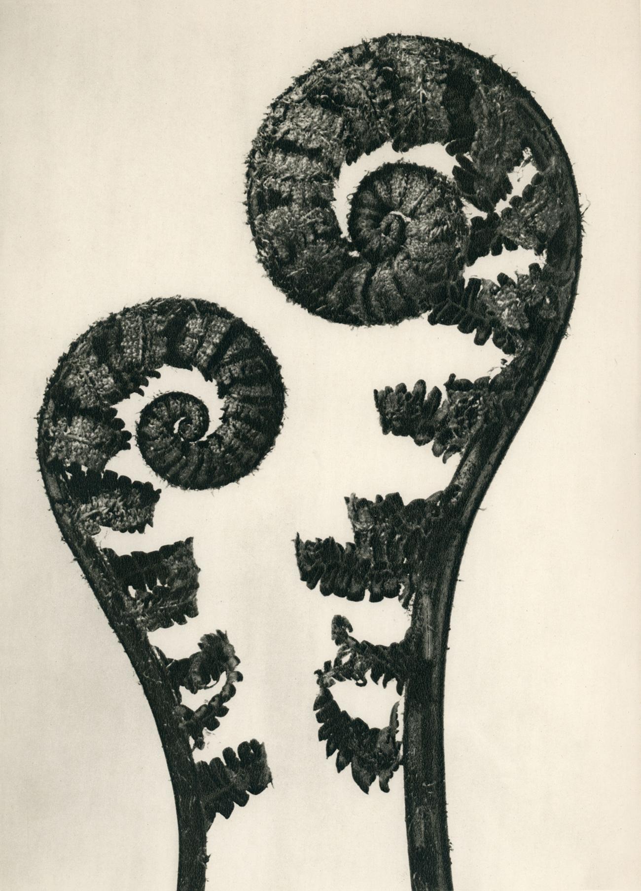 Fotó: Karl Blossfeldt: Dryopteris filix mas, Erdei pajzsika 1928 előtt <br />Karl Blossfeldt Collection at the University of the Arts Berlin