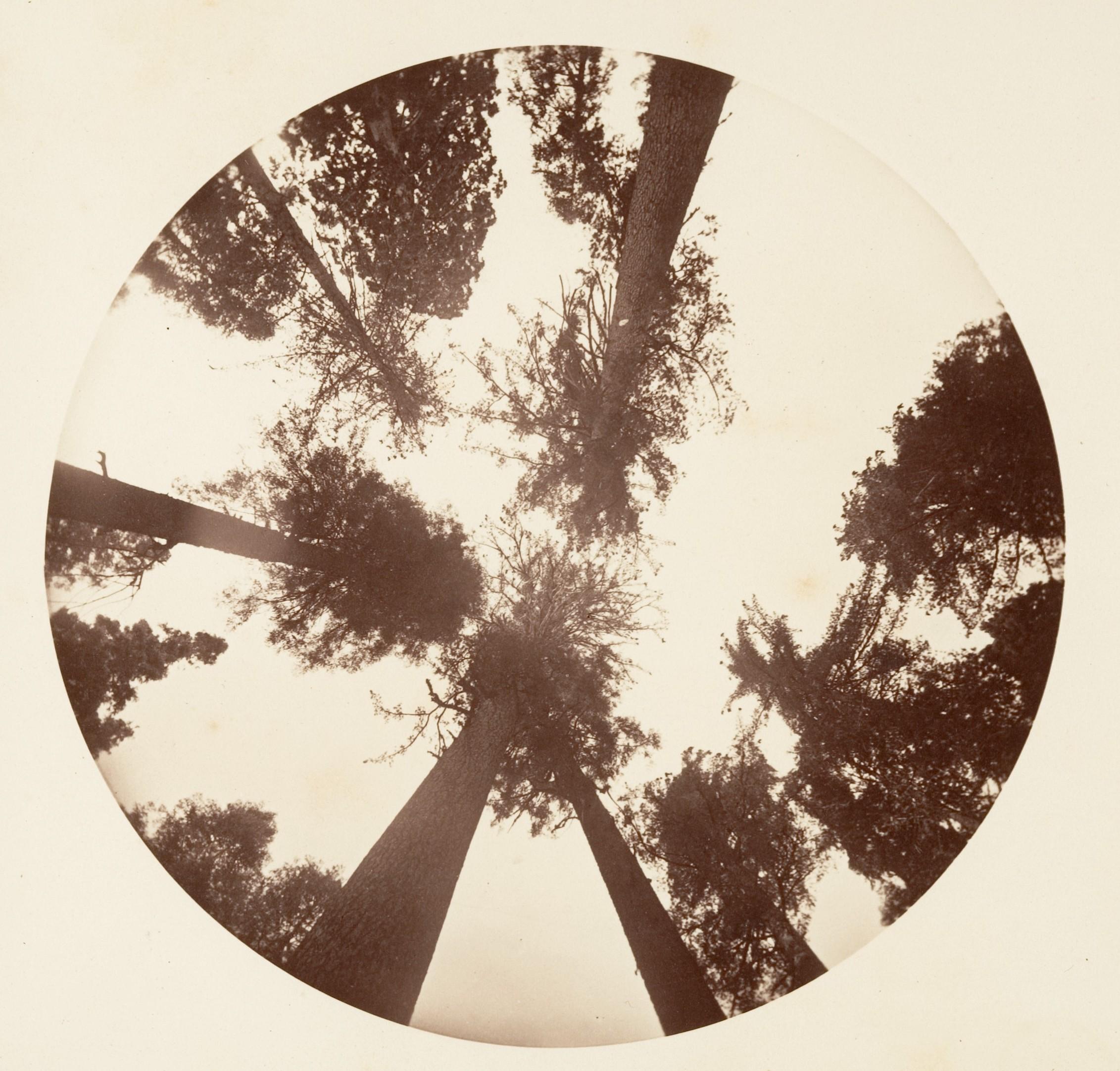 Fotó: Carleton Watkins: Looking up Among the Sugar Pines - Calaveras Grove, ca. 1878 © Carleton Watkins / The Metropolitan Museum of Art