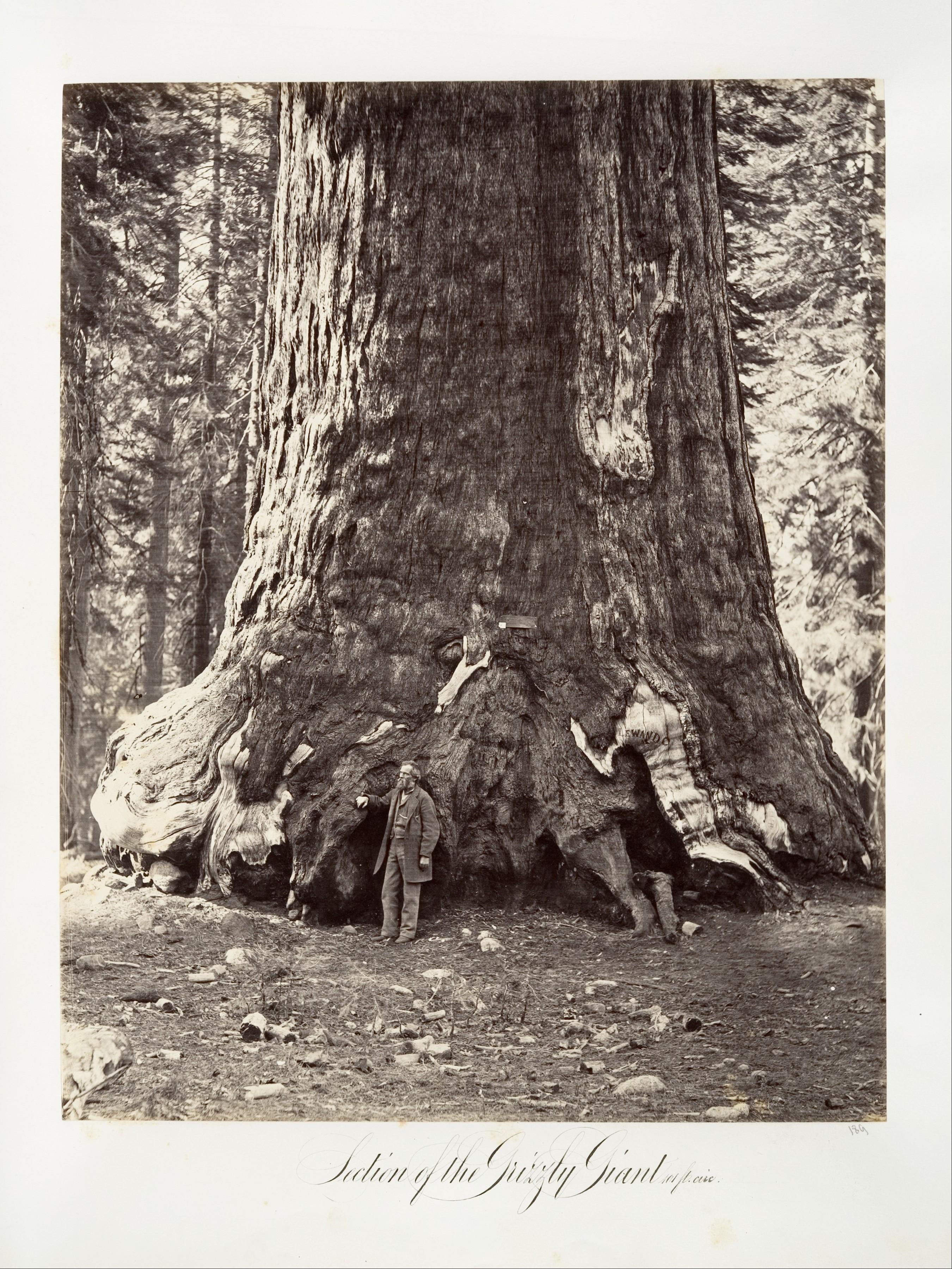 Fotó: Carleton Watkins: Section of the Grizzly Giant, 101 feet circumference, 1865–66, printed ca. 1876 © Carleton Watkins / The Metropolitan Museum of Art