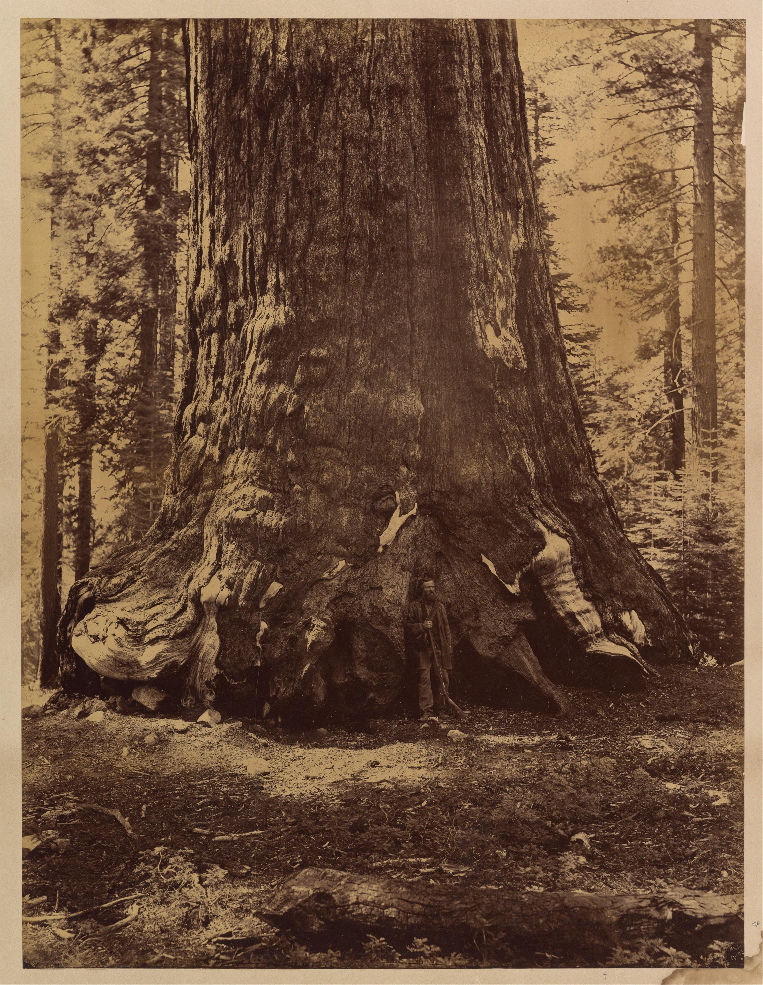 Fotó: Carleton Watkins: Section of the Grizzly Giant with Galen Clark, Mariposa Grove, Yosemite, 1865–66 © Carleton Watkins / The Metropolitan Museum of Art