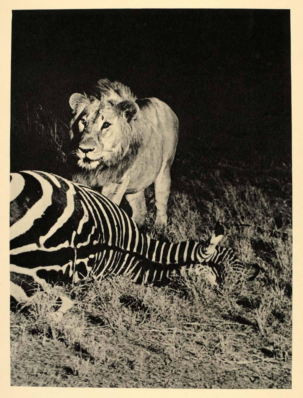 Az első éjszakai fotó, amin villanófénnyel, természetes környezetükben fényképeztek le egy oroszlánt és egy zebrát.<br />Fotó: Arthur Radclyffe Dugmore: Afrika, 1909