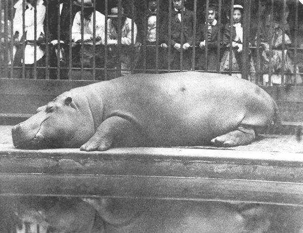 Az első víziló a Londoni Állatkertben (és Európában)<br />Fotó: Don Juan Carlos Maria Isidro de Borbón: London, 1852<br />Megjelent: Edwards J. London Zoo from Old Photographs, 1852-1914