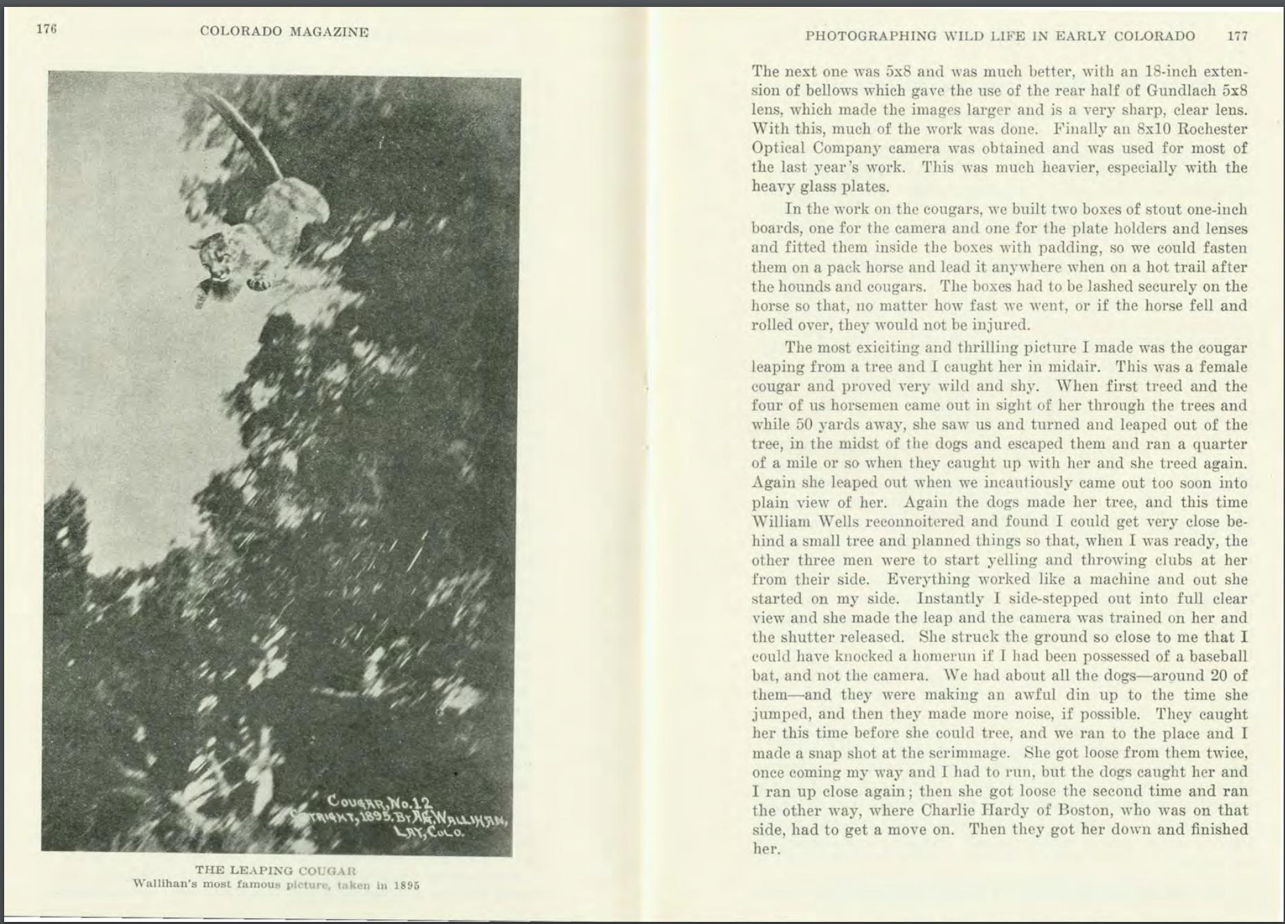 Az első kép egy vadon élő, ugrásban lévő pumáról, 1895<br />Fotó: A.G. Walliham<br />Megjelent: Camera Shots at Big Game, 1901