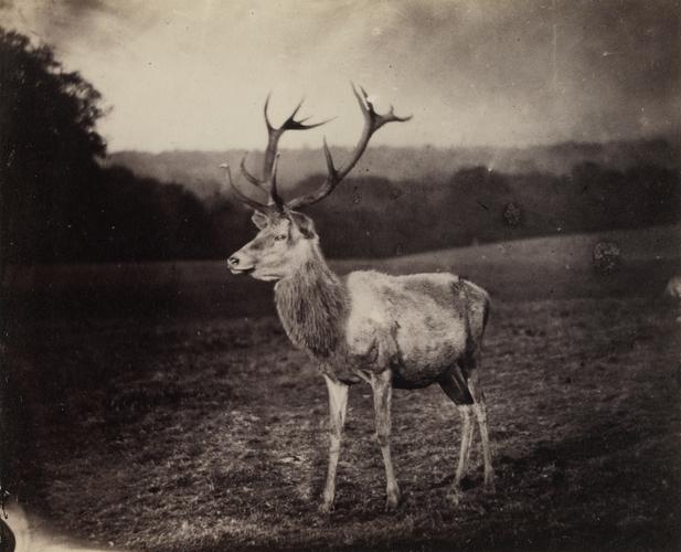 Az első kép egy szarvasbikáról, 1854<br />Fotó: Mr. Bambridge: Windsor Park, 1854. november 3.