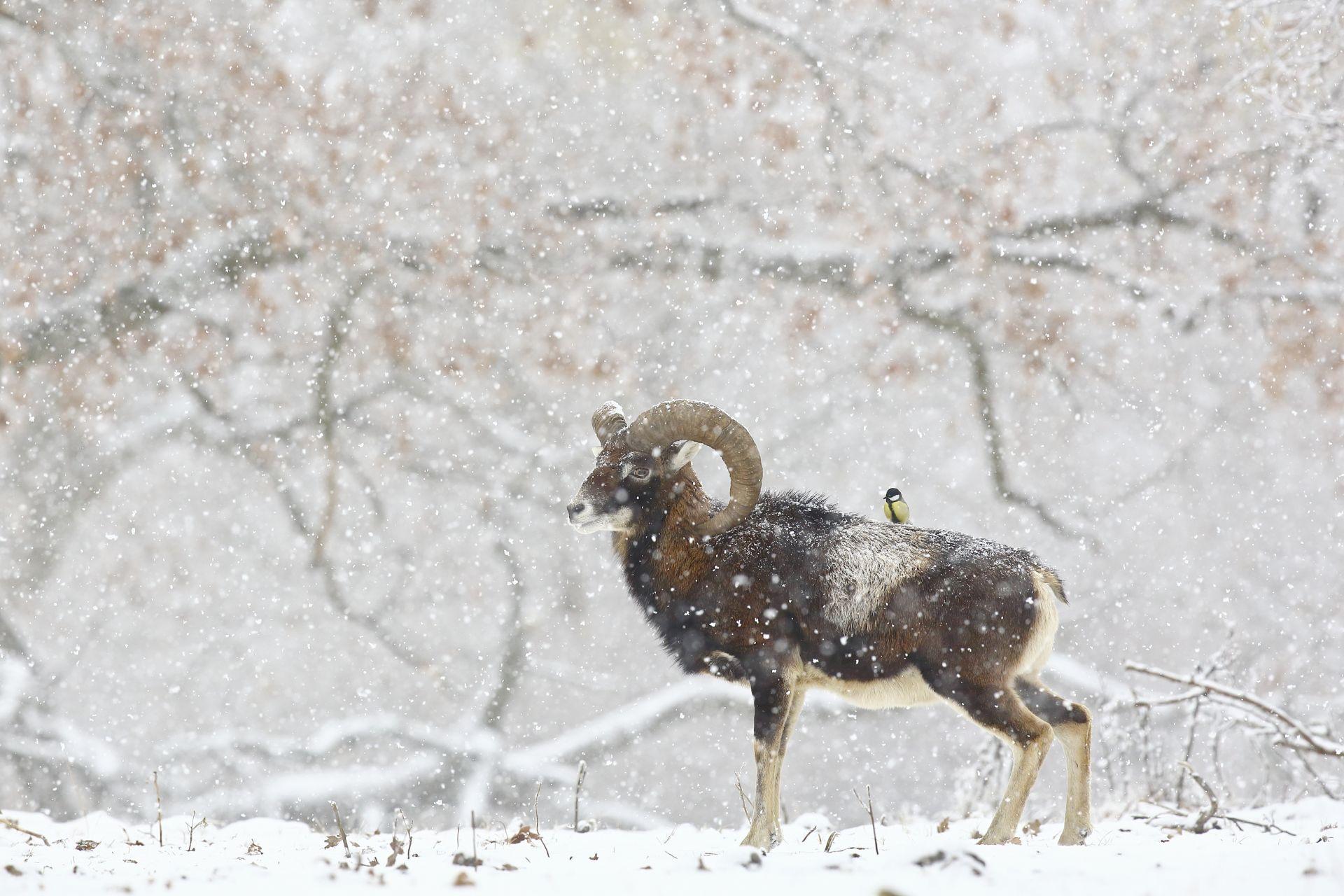 Fotó: Botos Éva: Tollas a hátam<br />A Bükk lábánál, télen, szakadó hóesésben sikerült elkapnom ezt a pillanatot a cinege és a muflon különleges kapcsolatáról, amit korábban még soha nem tapasztaltam. A muflon jó két percig tűrte, ahogy több széncinege is rárepül a hátára, de sajnos mindvégig tőlem elfordulva tette ezt. Csak pár másodperc volt az idő, amíg felém fordult, de ekkor már csak egy cinege ült a hátán. Sokat gondolkodtam ezen a nem mindennapi kapcsolaton, de csak feltevéseim vannak. Talán a hólepte tájban, a táplálékot nem találó cinege, a hóval lepte ágak helyett a kost használta beszállóágnak. Azt, hogy a muflonnak ebből mi haszna lehetett, elképzelésem sincs.<br /><br />Az emlősök viselkedése<br />Dicséretre méltó