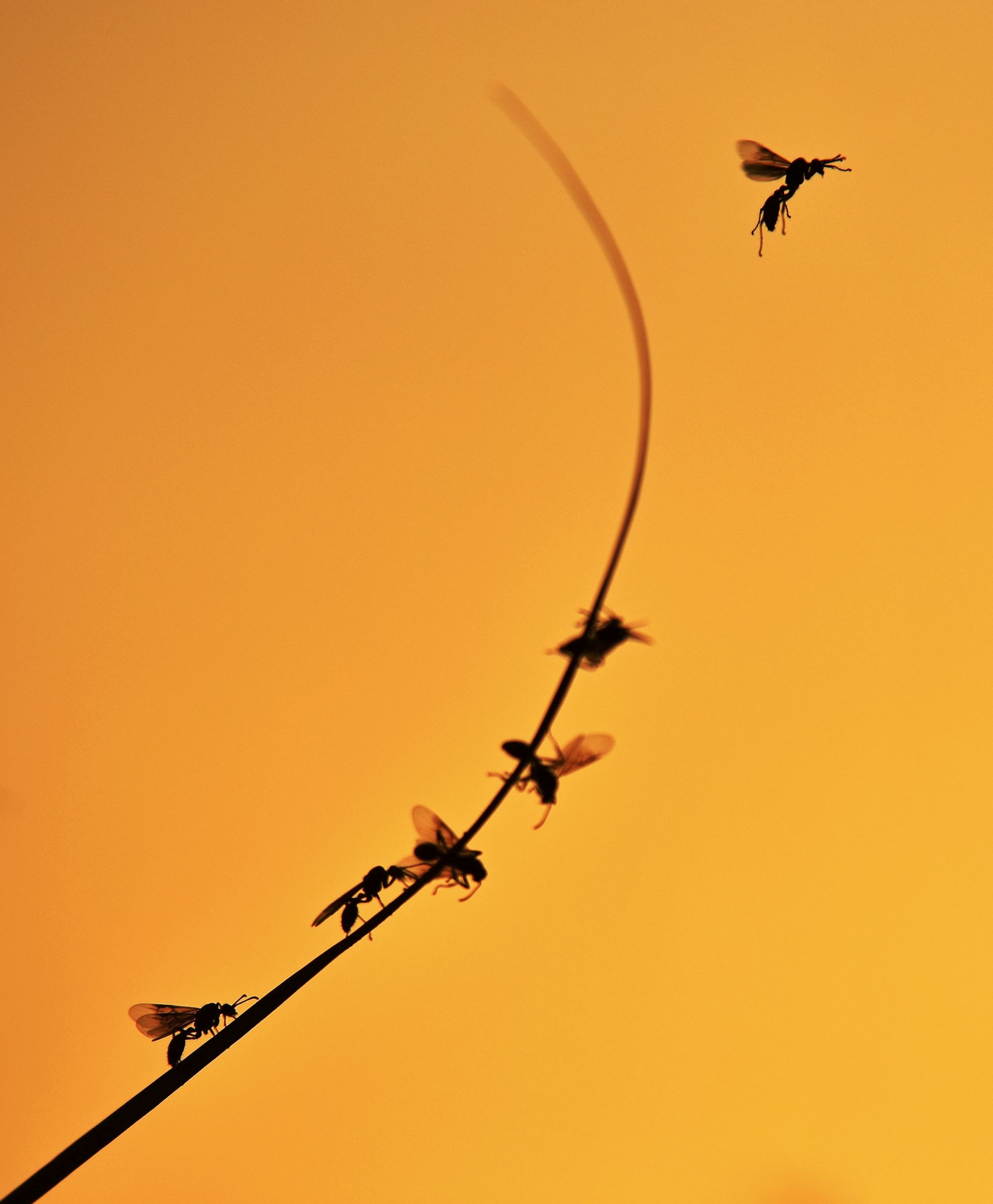 Fotó: Gergely József: Ugrás az alkonyatba<br />Nem sokkal naplemente előtt a nászukra készülő szárnyas hangyák egymás után másztak fel a nád leveleinek csúcsára, hogy innen, magasabb pozícióból startoljanak el párt keresni maguknak, még mielőtt lemegy a nap.<br /><br />Az állatok viselkedése<br />2. díj
