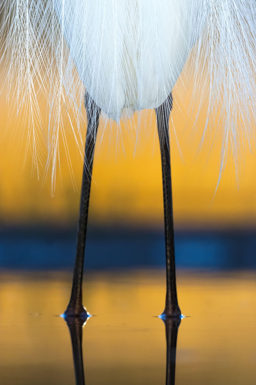 Fotó: Tökölyi Csaba: Köntös<br />Egy egész éjszakán át tartó, akciókkal teli fotózás után meglepő látvány tárult elém. Mikor a felkelő nap már szépen megfestette az eget és a víz felületét, egy kócsag sétált be a les elé. Tavasz lévén pompás nászruhát viselt, amelynek különleges tollai lágyan estek a madár fehér teste fölé. Nem váltottam nagylátószögre, inkább megpróbáltam az átlagos madárfotónal különlegesebb módon visszaadni a pillanat esszenciáját, a kócsag eleganciáját, ahogy ott pihent előttem állva, a narancssárga fényben úszó tájban.<br /><br />Állatok szemtől szemben<br />3. díj