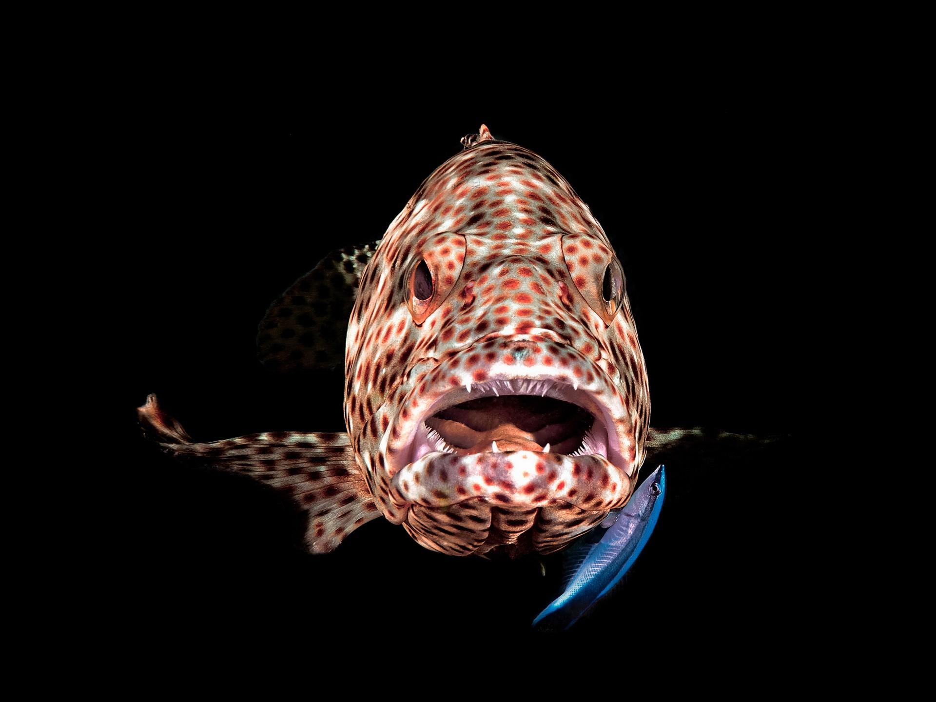Fotó: ifj. Lőrincz Ferenc: Tátott szájú Fűrészes sügér<br />Kategória: Élet a vízfelszín alatt<br />Helyezés: 3. díj<br /><br />Fűrészes sügér és az őt takarító tisztogató hal, Marsa Shagra, Egyiptom. A korallzátonyok bizonyos részein pár négyzetméteres területeken élnek a néhány egyedből álló tisztogató hal kolóniák, amelyeket a környéken élő halak rendszeresen meglátogatnak. A kép egy ilyen 'tisztító állomáson' készült. A tisztogató halak az egyébként harcias, de ilyenkor megszelidülő sügér szájából letisztítják a külső élősködőket, nyálkát, elhalt őrt és pikkelyt egy érdekes és egyedülálló szimbiózis jegyében.