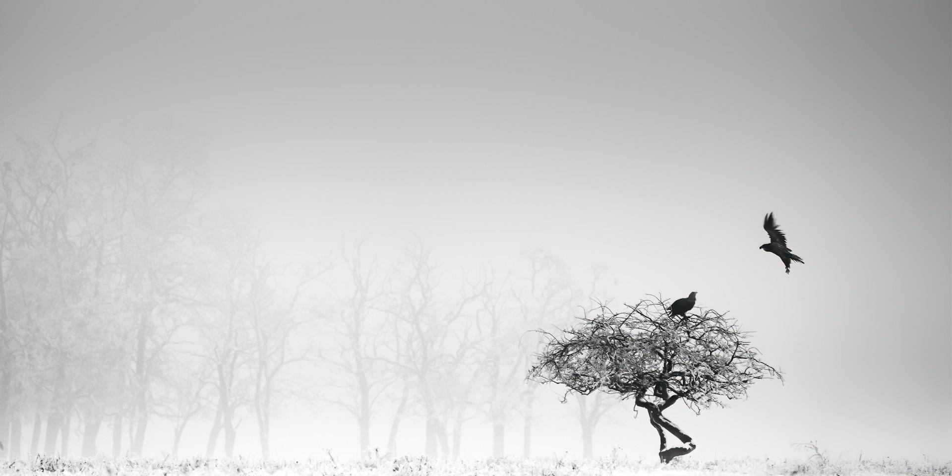 Fotó: Berényi Zsolt: Trónok harca<br />Kategória: Fekete-fehér természetfotók<br />Helyezés: 1. díj<br /><br />Portyázó rétisasok rivalizálása a magányos fa felett egy decemberi zord délelőttön a frissen lehullott hóval takart Hortobágyi Nemzeti Park területén. Már korábban észrevettem, hogy a sasok előszeretettel választják pihenőhelyül a magányosan álló fát, így már csak arra a pillanatra kellett várnom, hogy a visszaszoruló köd, amely nehezítette a látási viszonyokat, lehetővé tegye a beszálló madár megörökítését. Az első rétisas beszállásáról nem kis bosszankodásomra lemaradtam, de óriási szerencsémre, megpillantottam a távolból érkező riválist. Ekkor már felkészültebben vártam a megfelelő pillanatot.