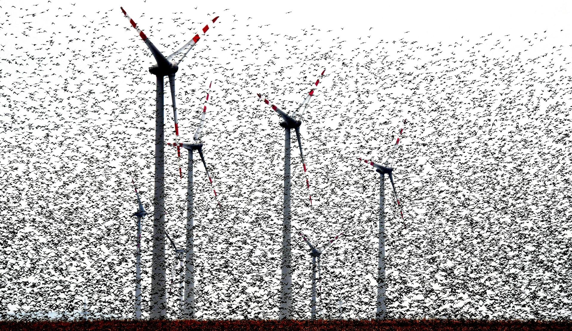 Fotó: Kerekes István: Kompozíció szélturbinákkal<br />Kategória: A fenntartható energiatermelés és a természet kapcsolata<br />Helyezés: 2. díj<br /><br />Felreppenő seregélyfelhő az őszi vonulás időszakában Ausztria legnagyobb szélerőmű parkjában, Burgenlandban. Tizenkét éve járok e vidékre őszi seregélyvonulást figyelni, de ekkora tömeggel még soha nem találkoztam. Először egy furcsa, nyüzsgéshez hasonló zajt hallottam, és ahogy a hang fele indultam, bekövetkezett az a csoda amire nem számítottam. A talaj megmozdult, és mint egy végeláthatatlan sötét szőnyeg, a földről több tízezer seregély kezdett lassan felszállni. Hihetetlen látványnak lehettem szemtanúja.