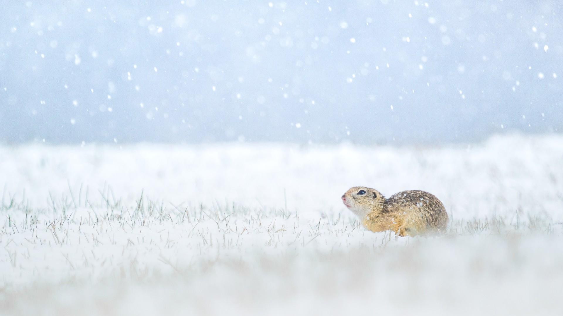 Fotó: Koncz-Bisztricz Tamás: Ürge a tavaszi havazásban<br />Kategória: Ifjúsági kategória<br />Helyezés: 2. díj<br /><br />A kis ürge is megcsodálja az áprilisi hóesést Bugac-pusztán, a homokbuckákon. A kocsi ajtaját óvatosan résnyire nyitottam, kimásztam, majd a sáros marhalegelőn kúsztam a szakadó hóesésben, és vártam az alkalmas pillanatot. Hazatérve megértő édesanyám nem szidott meg a sáros, mocskos és büdös ruhámért, de legalább sikerült lencsevégre kapnom ezt a nagyon ritka és szép pillanatot.