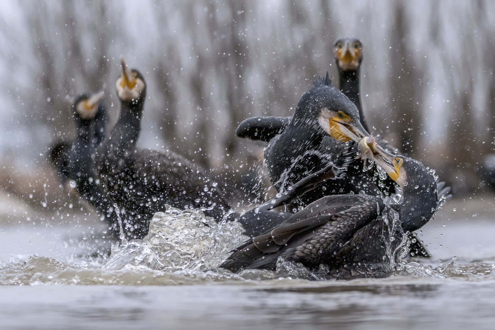 Fotó: Pézsa Sarolta: Halcsata<br />Kategória: A madarak viselkedése<br />Helyezés: 3. díj<br /><br />A kormoránok még a halban bővelkedő vízben is ádáz csatát képesek vívni egy-egy halért, és előszeretettel fosztják meg a másikat a zsákmányától. A kép Pusztaszeren készült március elején, üveges lesből.