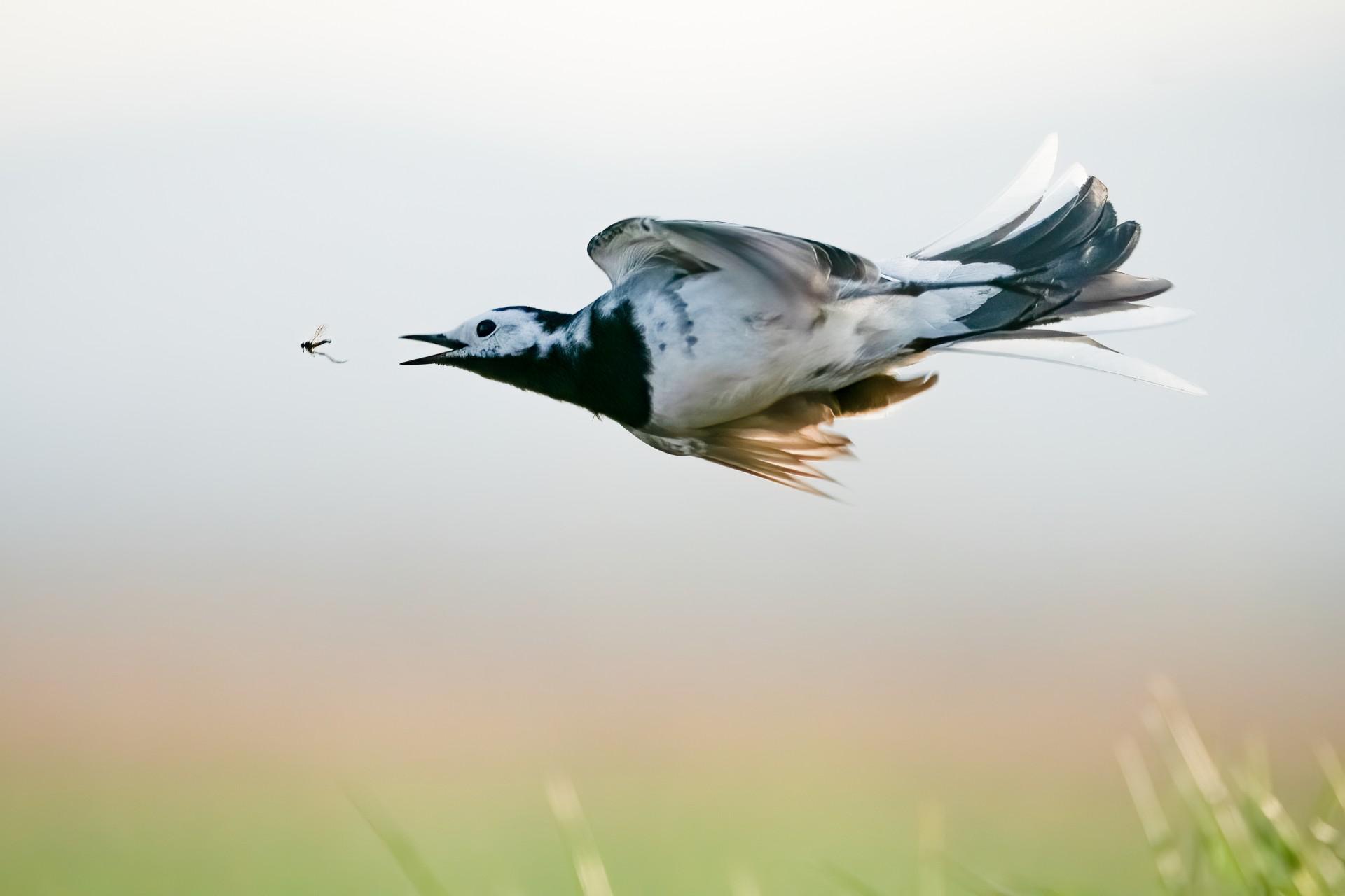 Fotó: Sanchez Esteban: Légi csata<br />Kategória: A madarak viselkedése<br />Helyezés: 2. díj <br /><br />Barázdabillegető röptében kergeti rovar zsákmányát a Szentendrei-szigeten a les előtti itató felett egy áprilisi napon. Az itató gyakori vendégéről sikerült megfigyelni, hogy a néha a feje felett köröző rovarokra vadászik. A kép készítésekor a technika, a korábbi próbálkozások és a szerencse is 'barátaim' voltak, hiszen csak a madarat követtem a kamerámmal, amikor láttam, hogy elindul felfelé vadászni és exponáltam. Az, hogy mindketten meg lettek örökítve egy kockán, már csak a visszanézéskor derült ki.