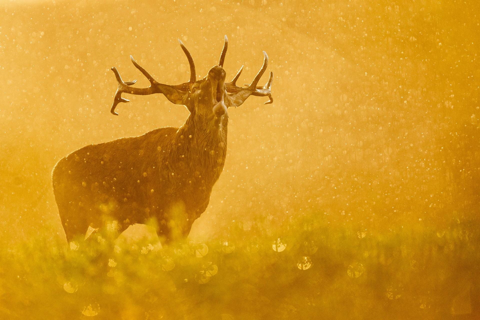 Fotó: Hogya István: Ének az esőben<br />Kategória: Az emlősök viselkedése<br />Helyezés: 2. díj<br /><br />A dombtetőn álló szarvasbika bőg a szakadó esőben, miközben megvilágítja a naplemente aranyló fénye. E szeptember esti fotózás nem indult túl fényesen. Az előre kiszemelt helyen vadásztak, így módosítani kellett a tervet. Majd jött egy hatalmas peremfelhő és egy órán keresztül szakadt az eső. Közben hallottam pár bőgést, és elindultam abba az irányba. Az erdőből kitekintve egy ágvéget vettem észre a domb aljában és nagy örömömre, a szarvas épp felém haladt! Szívem a torkomban, közben szakadt az eső és imádkoztam, hogy bőgje el magát a domb tetején. És megtörtént! A párás, esős keresőben csak egy homályos alakot látam, de visszanézve a kijelzőn ez a látvány fogadott!
