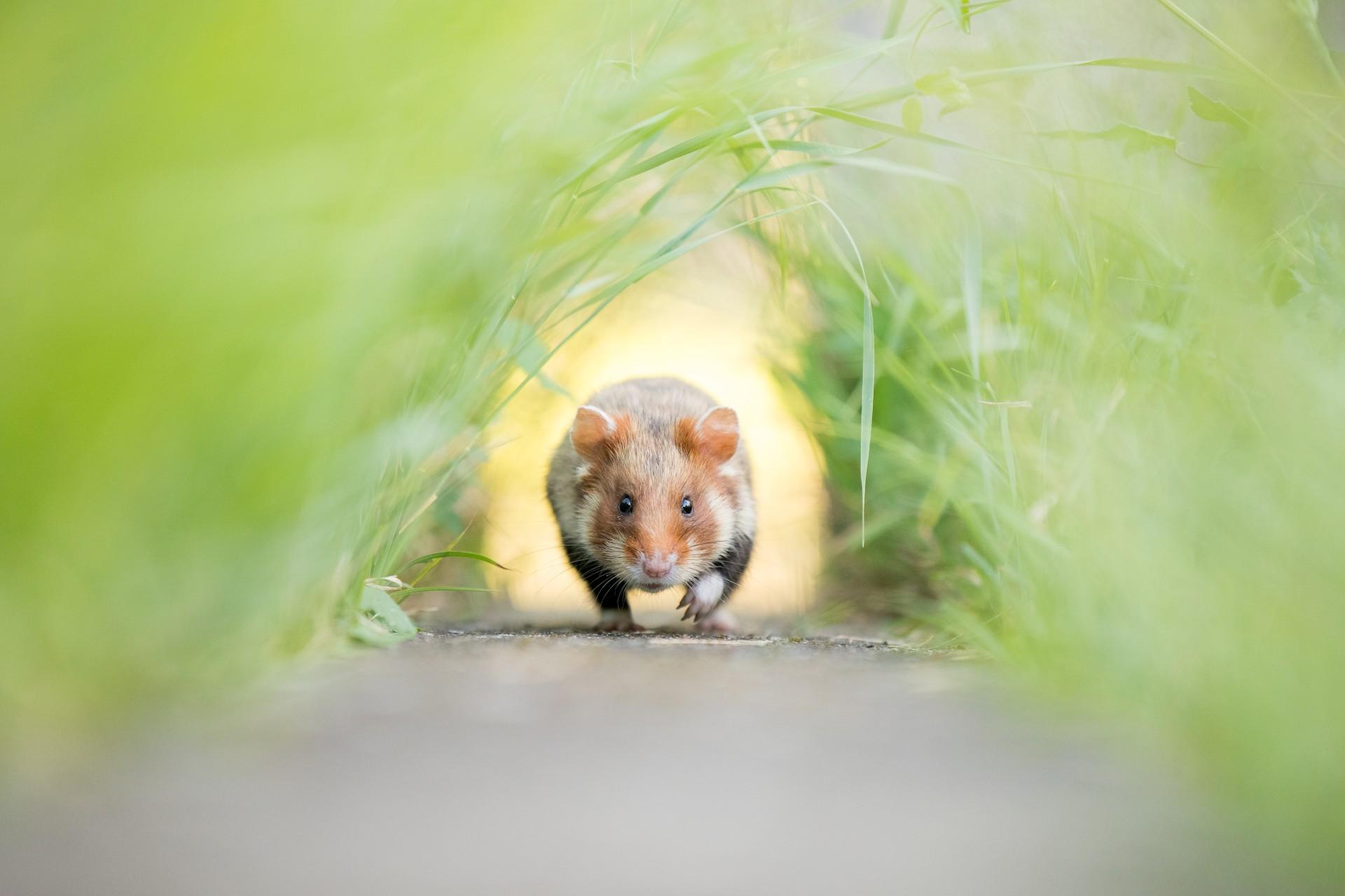 Fotó: Kolodziej Kai: Hörcsög pálya<br />Kategória: Az emlősök viselkedése<br />Helyezés: 3. díj<br />A TermészetBÚVÁR magazin különdíja <br /><br />Mezei hörcsög egy bécsi temető sírfalán kialakított, alagútszerű járatban rohangál. A valamikor elterjedt faj vadon élő populációja mára nagyon lecsökkent mert vagy kártevőként kezelték, vagy a prémjük miatt vadásztak rá. Szerencsére, a bécsi temetőkben és parkokban lehet találkozni szabadon élő példányokkal. A temetőkben a sírfalak cementburkolatait járatoknak használják miközben közlekednek az előhelyek közt. Rengeteg időt töltöttem a terepen figyelve és fotózva a fürge állatokat, de egyik se haladt az általam elképzelt irányba. Több napba telt, mire egy példány pont ott haladt el, ahol elképzeltem.